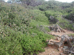 A. pajaroensis growing over A. hookeri ssp. hookeri on a shallow-soiled ridge in maritime chaparral Julie Anne Delgado