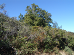 Photo taken at Sierra Azul Open Space Preserve in serpentine chaparral woodland © 2005 Matt Sagues.