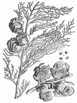 Illustration from Sudworth (1908).