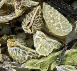 Photo of nutlets on herbarium specimen from Swanton area © Steve Matson.