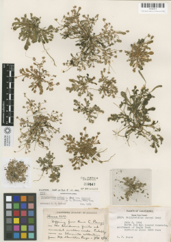 Type specimen of Calyptridium parryi var. hesseae (HOLOTYPE, CAS388413, 2 July 1954), collected by Vesta F. Hesse in the Santa Cruz Mountains, Santa Cruz County, CA. Both the HOLOTYPE and ISOTYPE are housed at the California Academy of Sciences.