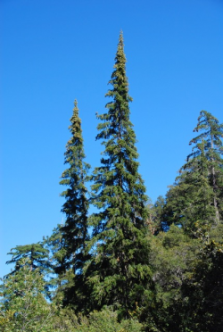 Santa Lucia fir, Cone Peak, Ventana Wilderness, Los Padres N.F. Photo © Jeff Bisbee. Santa Lucia fir, Cone Peak, Ventana Wilderness, Los Padres N.F. Photo © Jeff Bisbee.