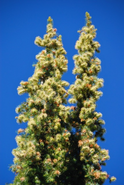 Santa Lucia fir tree top, Cone Peak, Ventana Wilderness, Los Padres N.F. Photo © Jeff Bisbee. Santa Lucia fir tree top, Cone Peak, Ventana Wilderness, Los Padres N.F. Photo © Jeff Bisbee.