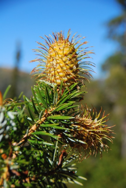 Santa Lucia fir (Abies bracteata). Cone Peak, Ventana Wilderness, Los Padres National Forest, Monterey County, CA. Copyright © Jeff Bisbee.