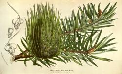 Santa Lucia fir (Abies bracteata), from Flore des Serres et des Jardins de l'Europe, Vol. 9, 1854–55.