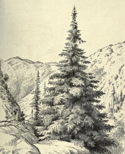 Santa Lucia fir (Abies bracteata), from Cyclopedia of American Horticulture, 1909.