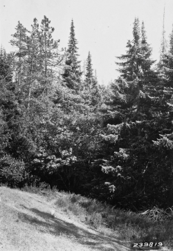 Santa Lucia fir (Abies bracteata), A. E. Wieslander Vegetation survey photo, Jamesburg Quad, July 24, 1929. Copyright © 2005 The Regents of the University of California.