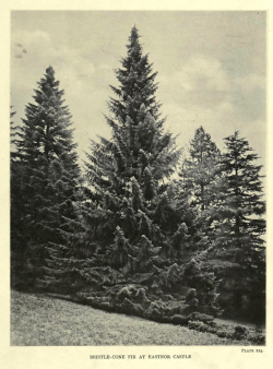 Santa Lucia fir (Abies bracteata), horticultural specimen from Eastnor Castle, from The Trees of Great Britain and Ireland, Vol. 4., 1909.