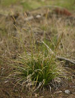 San Luis Obispo sedge (Carex obispoensis), a cespitose perennial herb. Cuesta Ridge Botanical Area, San Luis Obispo County, CA, 2 April 2006. Copyright © 2006 Steve Matson.