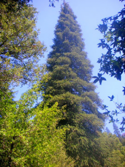 Santa Lucia fir (Abies bracteata), registered as a California Big Tree. 127 ft high. Los Padres National Forest, Monterey County, CA.
