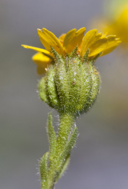 Hall's tarweed (Deinandra halliana) inflorescence. Vicinity of Parkfield (San Luis Obispo County, California, US), March 28, 2013. Copyright © 2015 Chris Winchell. Hall's tarweed (Deinandra halliana) inflorescence. Vicinity of Parkfield (San Luis Obispo County, California, US), March 28, 2013. Copyright © 2015 Chris Winchell.