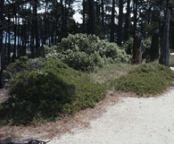 The Presidio of Monterey, under Monterey pine. The low mounded shrubs are A. hookeri ssp. hookeri.