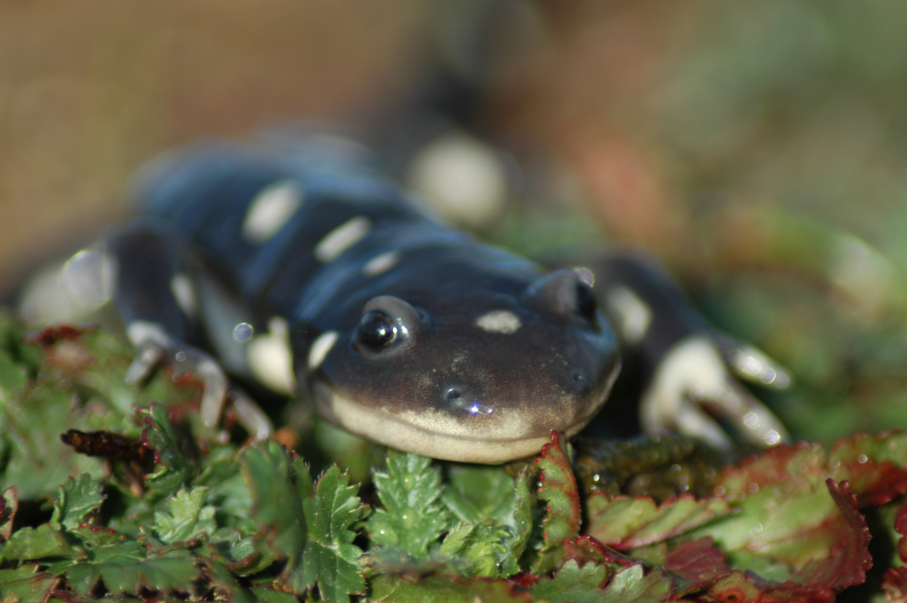 California Tiger Salamander Workshop 2015 program image