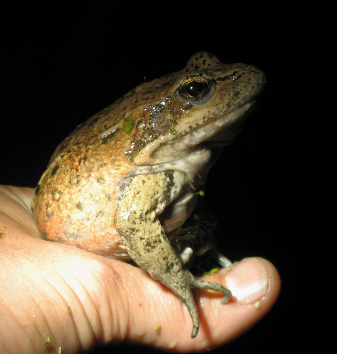 Managing Habitats for the California Red-legged Frog program image