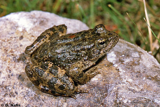 Ecology of Foothill Yellow-Legged Frog program image